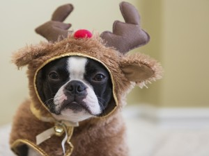 Boston Terrier in Rudolf Costume